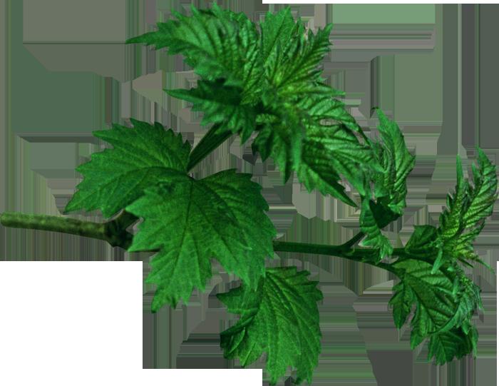 клипарт - Веточки и листья - PNG ... Листья ...: foto-basa.com/imagehdata-Листья-Вектор-Png.htm